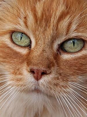 closeup of orange tabby cat