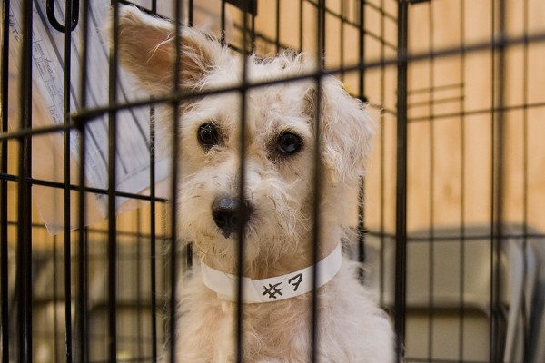 A Sharpie and an ID band are all it takes to create a makeshift yet functional collar. Dog No. 7 was one of more than 100 dogs rescued from a Mississippi puppy mill in 2010.