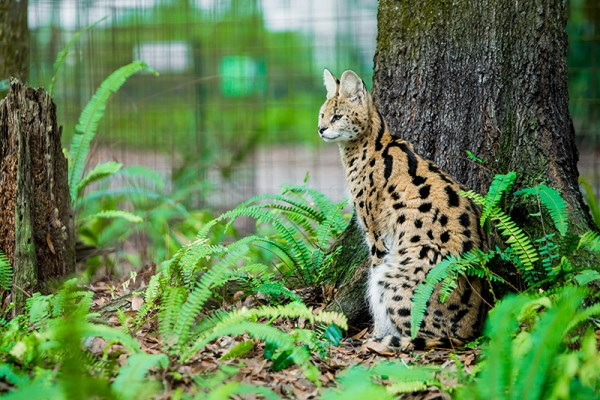 For more than a decade, Ginger and five other servals lived in a dark basement. Their owner surrendered them to Big Cat Rescue after she fell ill and could no longer keep them.