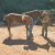 Farrier Robert Holden and Ricky Williams work on the feet of a Supai horse.