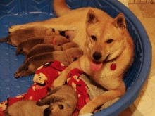Athena left the dog farm in South Korea and flew to the States, landing in the care of the Humane Animal Welfare Society of Waukesha County just in time to give birth.
