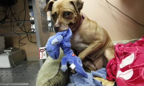 Honey, an older pit bull with a damaged lip, was initially frightened when rescuers found her during a raid in July on a dogfighting operation in Gary, Ind. She blossomed into a sweetheart, thanks to love and attention provided by Casa Del Toro Pit Bull Education and Rescue volunteers.