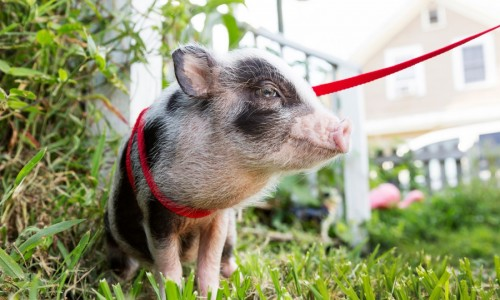 Many pig owners buy minipigs and are less-than-enthused when they suddenly have to carry a pig the size of an adult human up and down the stairs.