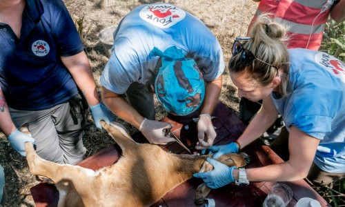 Medical personnel from FOUR PAWS International place a jugular catheter in an abandoned calf in Indonesia.