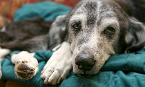 Fospice programs allow sick or elderly animals to live out their final days with comfort and dignity in a loving home.