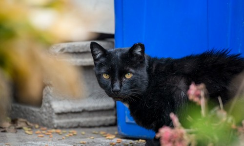 For most healthy impounded stray cats, sterilizing, vaccinating, ear-tipping and returning them to where they were found is the best tactic.