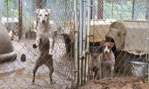 Coconut (left) was initially the most emotionally damaged dog from this Michigan puppy mill rescue, says the ASPCA's Kristen Collins, but in 2013, she graduated from the nonprofit's behavioral rehabilitation program with flying colors.