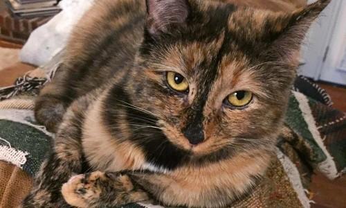 Charlie is a rare, male tortoiseshell cat.