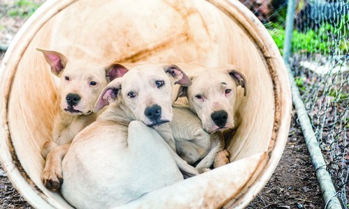 """The HSUS rescued more than 60 dogs and puppies from a """"hog-dog"""" fighting operation in Alabama in January 2015."""