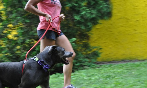 The Dog Trotter program helps keep the Delaware County SPCA's canines well-exercised.