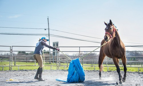 Trainer Sara Strauss works with mare Indiana at Days End Farm Horse Rescue, using a tarp on the lunge line to help the horse get used to unexpected movement around her.